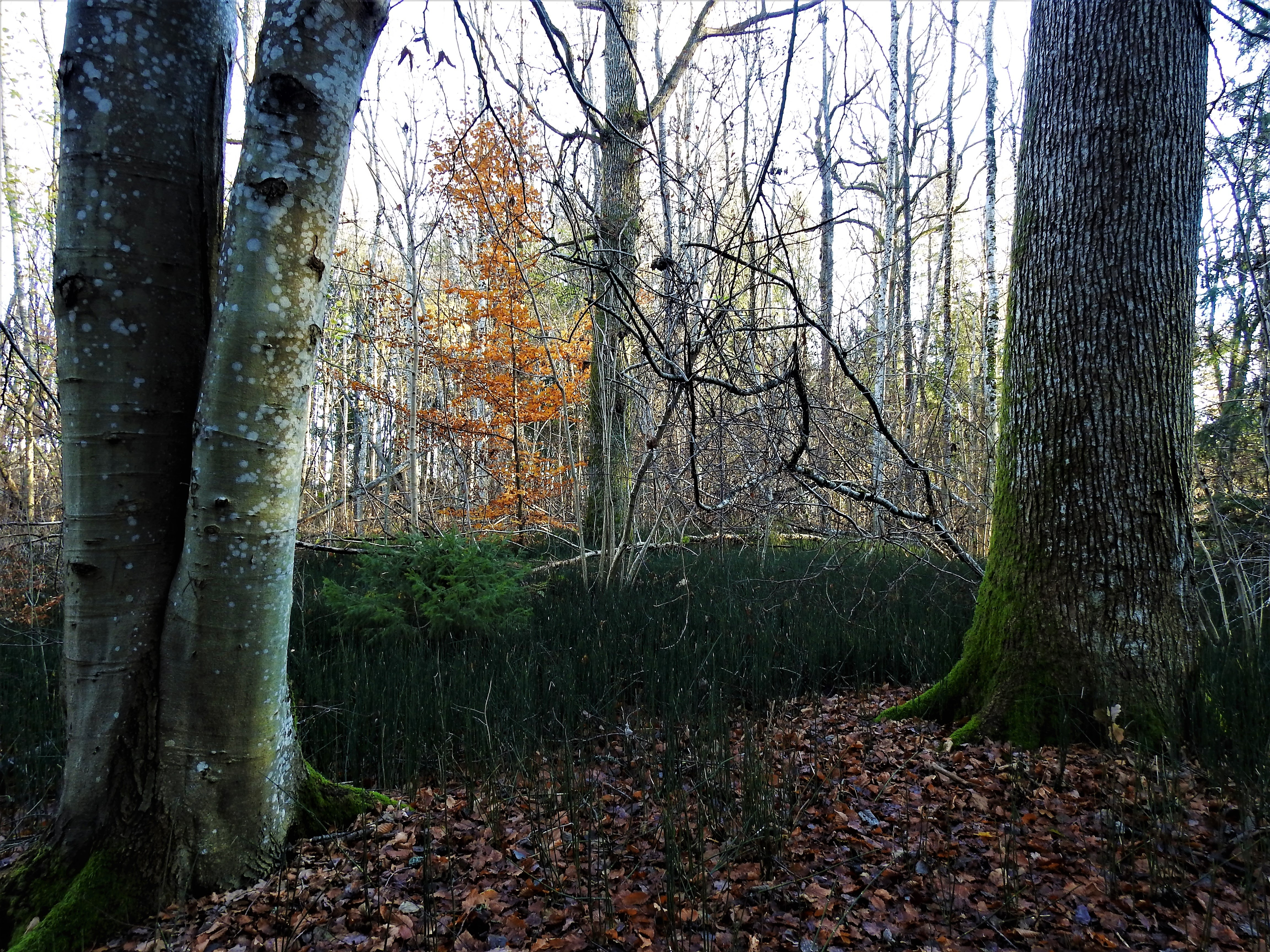 Hekte damp innsjø skog